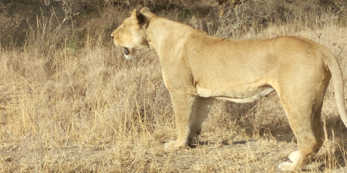 The Lioness that introduced themselves to Soysambu Conservancy in Kenya
