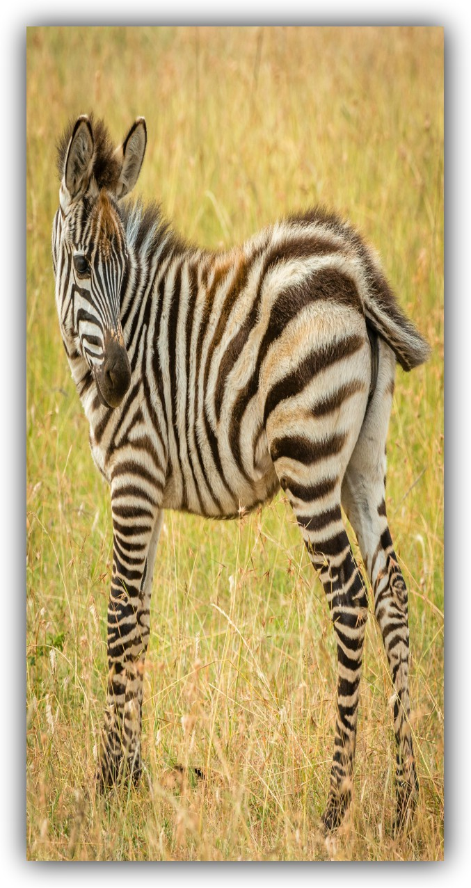 Foal have brownish and white stripes.