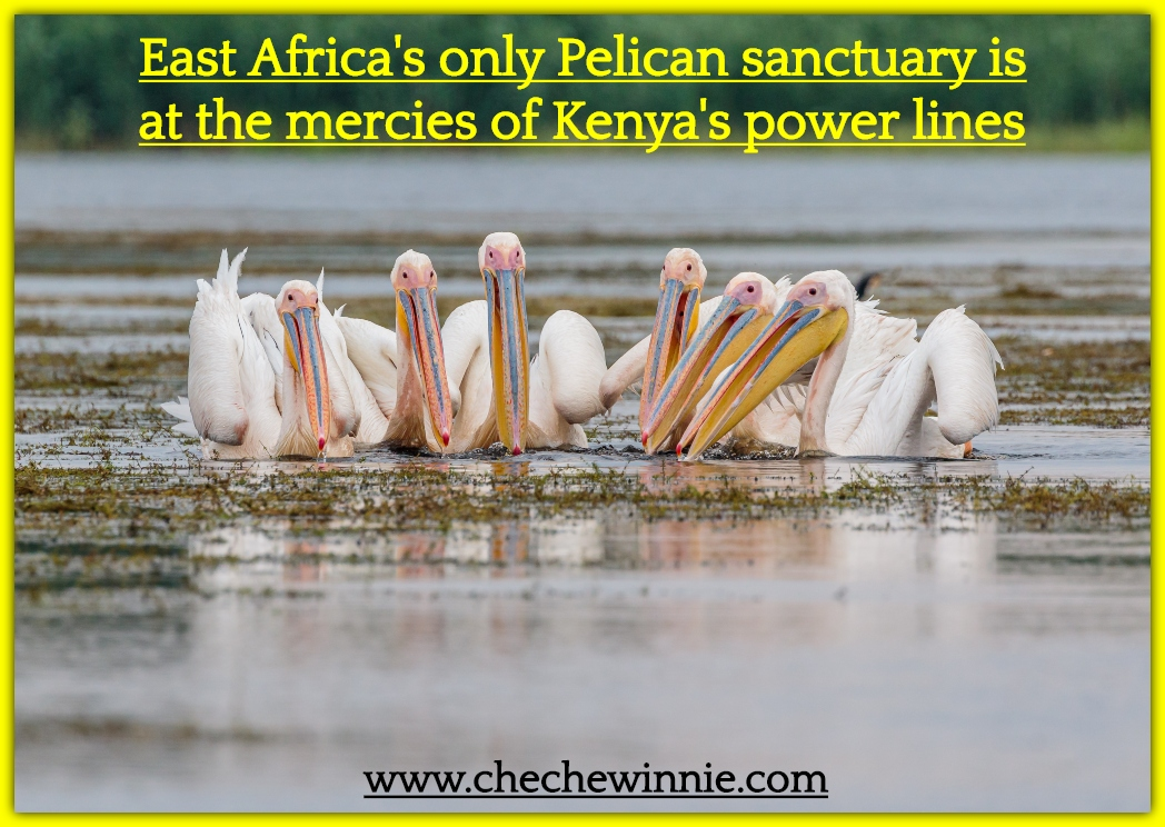 East Africa's only Pelican sanctuary is at the mercies of Kenya's power lines